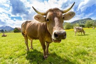 cow-759018_1280