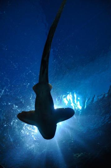 shark-164899_1280