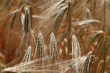 wheat-809444_1280